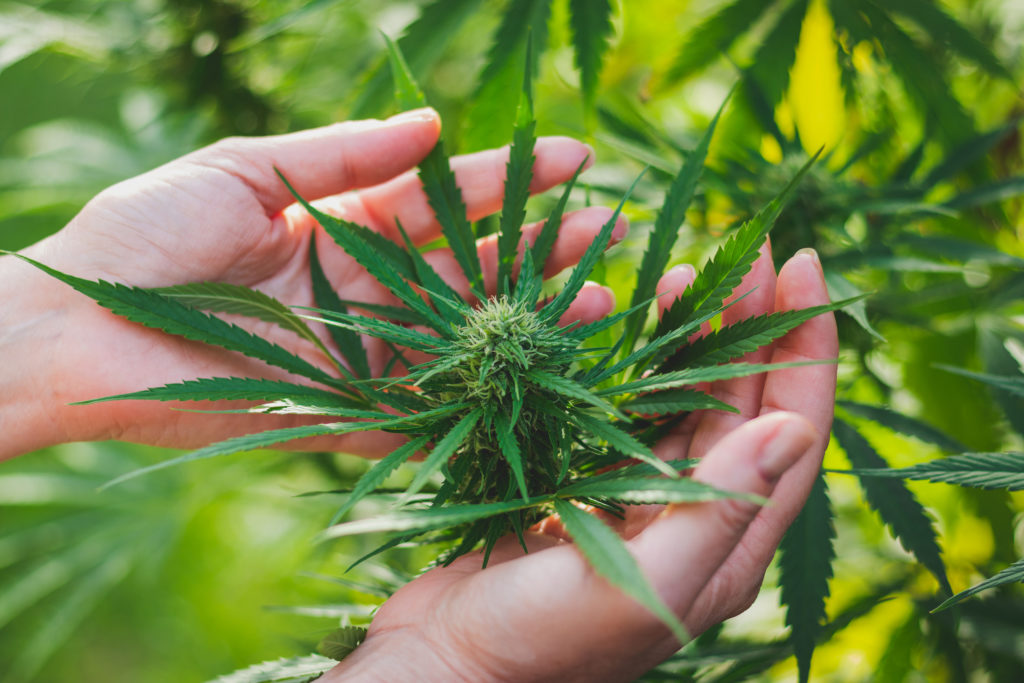 Cannabis plant and human hands.