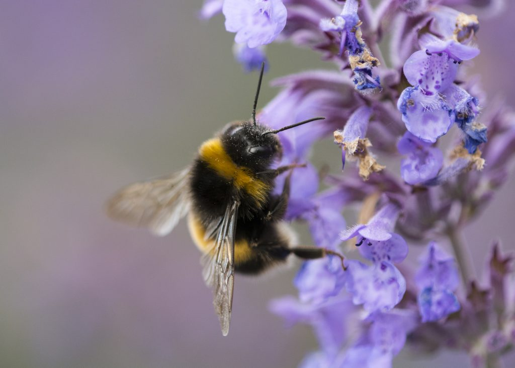 Bumblebee on purple flower petal