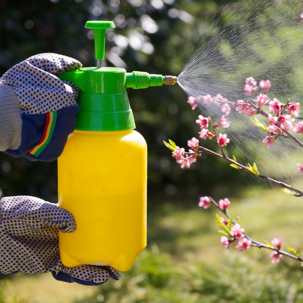 Spraying pesticides on a blooming fruit tree